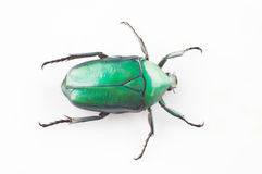 Green scarab Stock Photography
