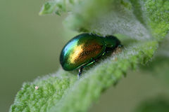 Green scarab. Close up of a green scarab  on aleaf Stock Photos