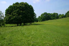 Green Scene. Sturdy chestnut tree amid green pastureland in English early summertime Stock Photos
