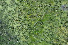 Green scum on water surface during algal bloom Royalty Free Stock Photos