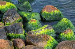 Green sea algae. Green sea algae at stones stock photography