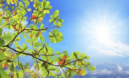 Green sea almond leaves and tree branch against sun shining on b Stock Photography