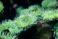 Green Sea Anemone. Close up stock photography