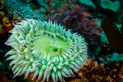 Green sea anemone closeup stock photo