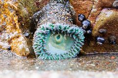 green Sea Anemone low tide stock photography