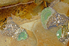 Green sea anemone under quiet water Royalty Free Stock Photography