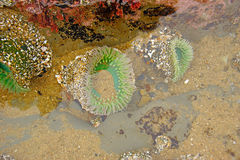 Green sea anemone under quiet water Stock Image