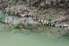 Green Sea Anemones and a Giant Starfish royalty free stock photography