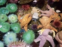 Free Green Sea Anemones In Shallow Water Or Tidepool With Starfish Stock Photos - 134961523