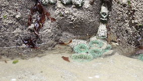 Green Sea Anemones in a Tide Pool in Oregon stock video