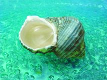 Green sea shell in water Stock Photography