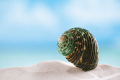Green sea  shell on white Florida beach sand under the sun light Stock Photos