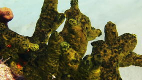 Green sea sponge coral in Bahamas. Close-up stock video footage