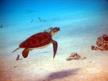 Green sea turtle. A small Green Turtle takes no notice of the divers as it goes about its business early one morning Royalty Free Stock Images