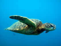 Green sea turtle. Closeup in clear blue ocean Royalty Free Stock Photography