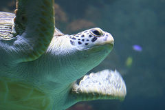 Green sea turtle. An endangered reptil at a coral riff stock photo