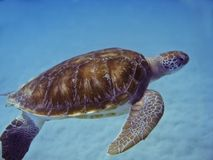 Green Sea Turtle. In Barbados royalty free stock image