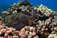 Green Sea Turtle Royalty Free Stock Photos