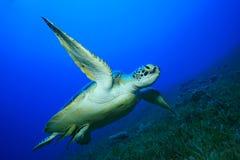Green Sea Turtle. Green Turtle (Chelonia mydas) with Remora fish stock photos
