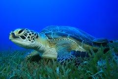 Green Sea Turtle Stock Photo