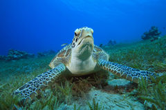Green Sea Turtle Royalty Free Stock Image