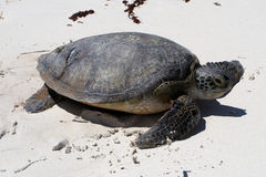 Green Sea Turtle. Sea turtle crawling on sandy beach in daylight Royalty Free Stock Photo