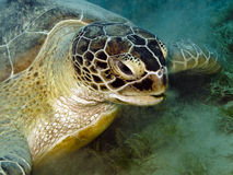 Green sea turtle. A feeding Green sea turtle, Chelonia mydas Stock Photo