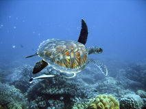 Green Sea Turtle Royalty Free Stock Photo