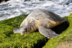 Green Sea Turtle. Resting and eating seaweed on rocks stock image