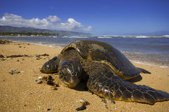Green Sea Turtle. Chelonia mydas, also known as green sea turtle, has just come up the shore at Haleiwa beach park, north shore of Oahu, Hawaii. According to royalty free stock photo