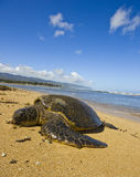 Green Sea Turtle. Chelonia mydas, also known as green sea turtle, has just come up the shore at Haleiwa beach park, north shore of Oahu, Hawaii. According to royalty free stock images