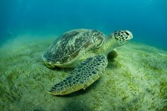 Green Sea Turtle. Closeup of a green sea turtle on the bottom of the ocean Stock Photography