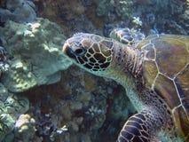 Green sea turtle Royalty Free Stock Photo