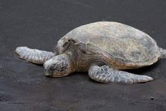 Green Sea Turtle. A green sea turtle, honu, sleeping on a black sand beach on the Big Island, Hawaii Royalty Free Stock Image