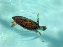 Free  Green Sea Turtle Stock Image - 5258501
