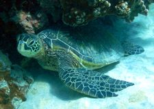 Free Green Sea Turtle Royalty Free Stock Photography - 8193787