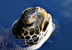 Green sea turtle. Royalty Free Stock Photography