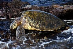 Green sea turtle. Stock Photography