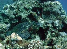 Green Sea Turtle Stock Photos