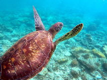 Green sea turtle above the coral reef and sea bottom Royalty Free Stock Images