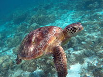 Green sea turtle above the coral reef and sea bottom Royalty Free Stock Image