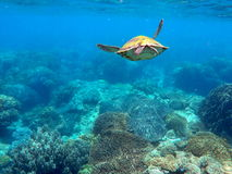 Green sea turtle above the coral reef and sea bottom Stock Photo