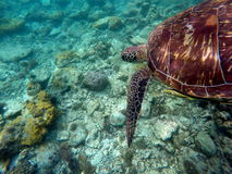 Green sea turtle above yellow coral reef and sea bottom Royalty Free Stock Photography