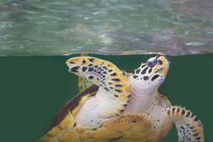 Green sea turtle Stock Image