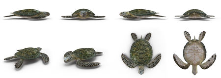 Green sea turtle angles isolated on a white 3D Illustration Stock Photos
