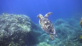 Green sea turtle ascends to the surface to breathe stock footage