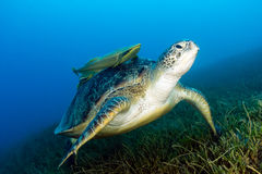 Green Sea Turtle with attached Remora sits on seagrass. A Green Turtle with Remora sits on seagrass on a dark afternoon stock images