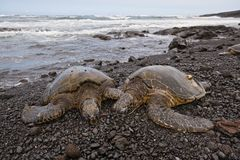 Green sea turtle on beach Stock Photo