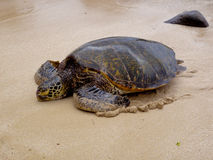 Green Sea turtle on beach. Green sea turtle resting on the north shore of oahu royalty free stock photo