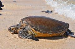 Sea turtle. A green sea turtle on beach Stock Image